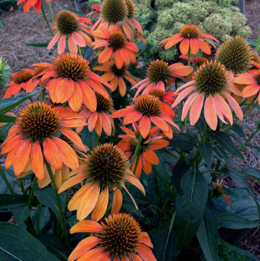 """Sombrero Adobe Orange' has completely wowed us with its extraordinary beauty. The plants produced numerous large bright orange cone flowers. This cultivar bloomed longer than any echinacea we have grown ever."""